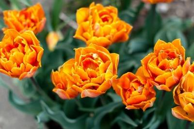 cvetlicar 1